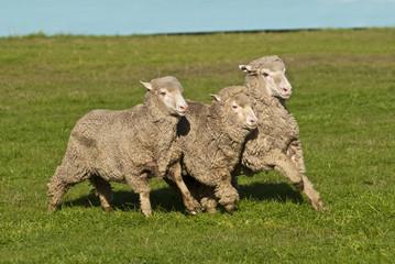 Three merino sheep running in close formation in pasture