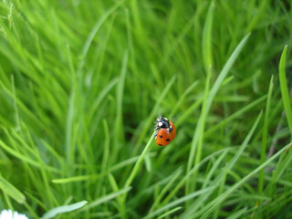 ladybug macro in grass