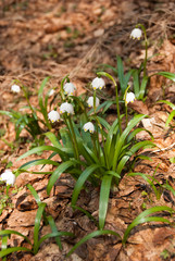 White snowdrops among dry leaves