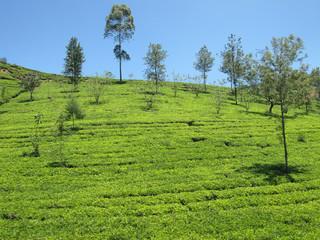 Plantation de thé et ciel bleu