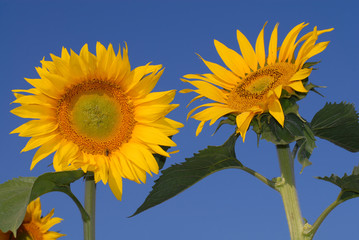 Sunflowers on blue sky