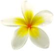 fleur jaune de frangipanier, fond blanc
