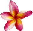 fleur rose de frangipanier, fond blanc