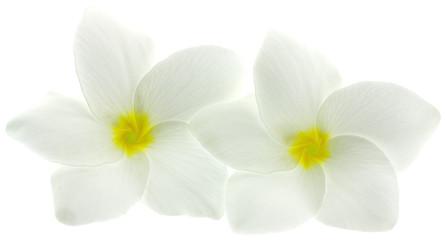 fleurs blanches de frangipanier, fond blanc