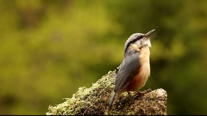 Nuthatch - displaying and singing