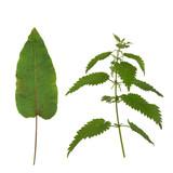 Dock Leaf and Stinging Nettle poster