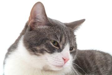 Eine junge, weiss - graue Katze.