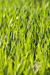 green grass with dew in morning light