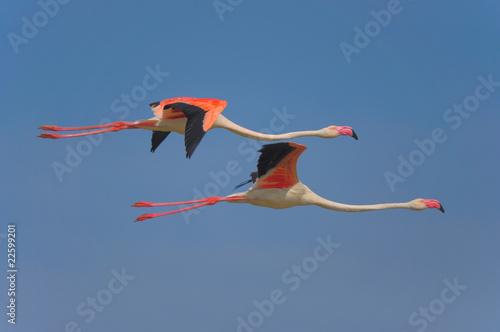 Deurstickers Flamingo fenicottero