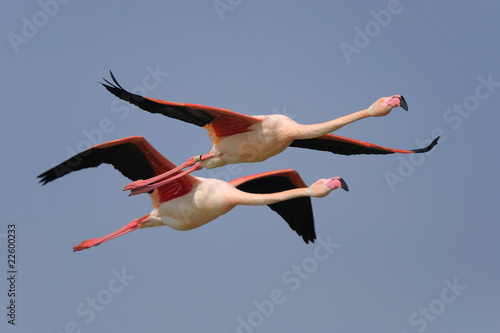 Poster Flamingo fenicottero