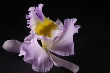 flower cathleya 2