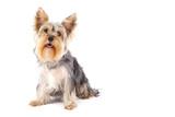 purebred dog poster