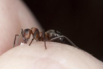 Ant biting skin on human hand.