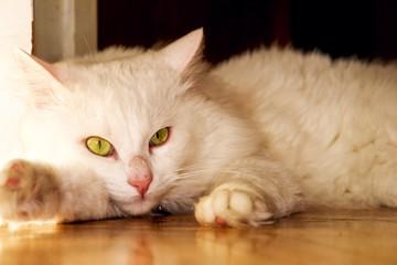 White cat lays - Angora breed