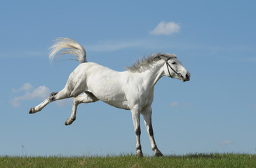 Grey horse playing on grass