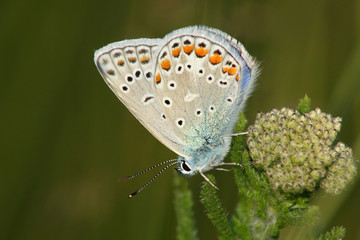 Butterfly (Lycaena icarus)