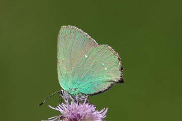 Butterfly (Calloryphus rubi)
