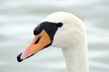 Head of swan on the lake