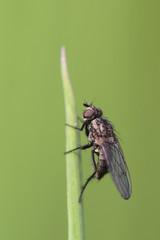 Fliege an Grashalm