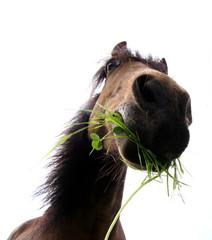 pferdekopf beim fressen