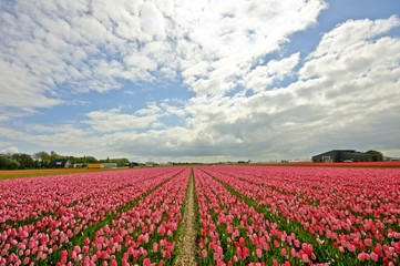 Red tulipfields in the Netherlands in springtime