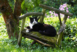 black-and-white tomcat on old garden chair poster