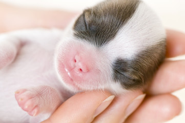newborn puppy on the palms close-up