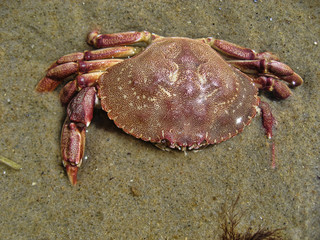 Crab in Aquinnah Beach