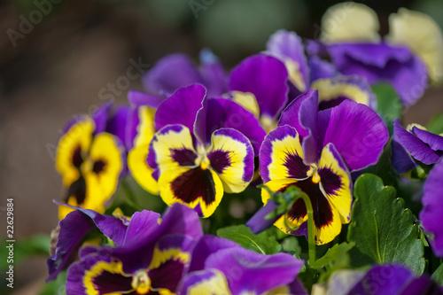In de dag Pansies Violet Pansies