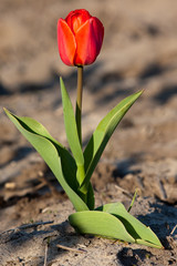 One red tulip in field