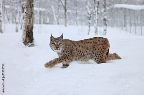 A female Lynx running