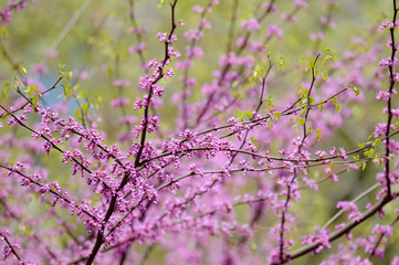 Redbud Flowers and Green Leaves