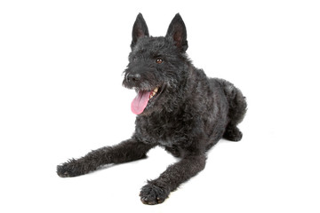 wire haired dutch shepherd isolated on a white background