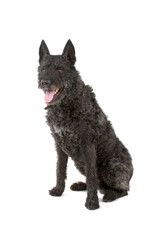 black wire haired Dutch shepherd dog