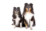 close up of two shetland sheepdogs (shelty) poster