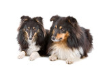 two shetland sheepdogs (shelty) isolated on a white background poster