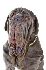 head of a Mastino Napoletano, Mastino, Neapolitan Bulldog , neo
