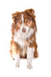 front view of an australian shepherd dog