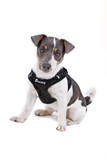 front view of a jack russel terrier wearing a harness poster