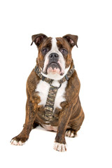 old english bulldog isolated on a white background