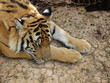 Tiger auf Sand