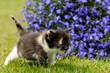 Katzenkind mit Lobelien