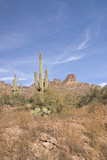 Saguaro cactus on the Apache Trail, Arizona poster