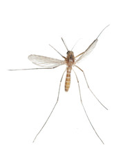 insect mosquito bug isolated