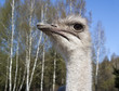 Close-up head of an ostrich