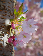 Cherry-bloom and buds.