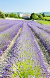 Fototapety lavender field, Drome Department, Rhone-Alpes, France