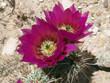 Nevada Cactus