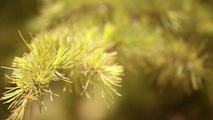 Pine Tree Branch in Breeze, Narrow Depth of Field, Copy Space