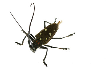 insect long horn beetle